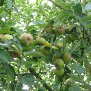 Apples in Fryent Country Park