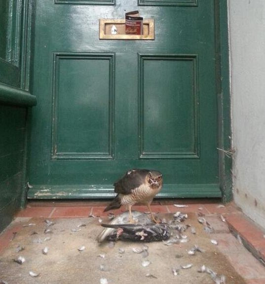 """That awkward moment when you find a bird of prey dissecting a pigeon on your parents' doorstep"". Photo via Nico Lennon"