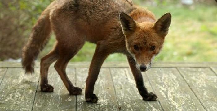 Caught my cutey back garden fox having a casual nose around the patio via @damawa42