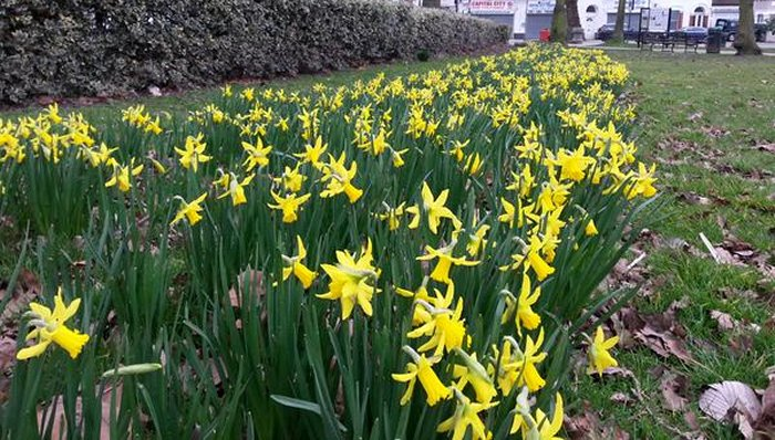 Daffs on Fortune Green via @Tetramesh